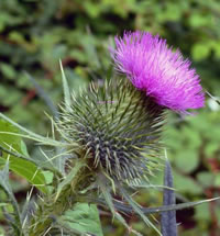 Thistle Control and Removal